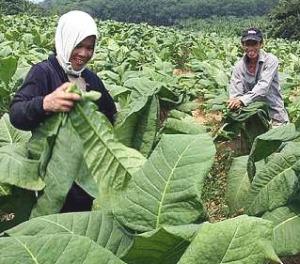 Kegiatan Para Petani Tembakau